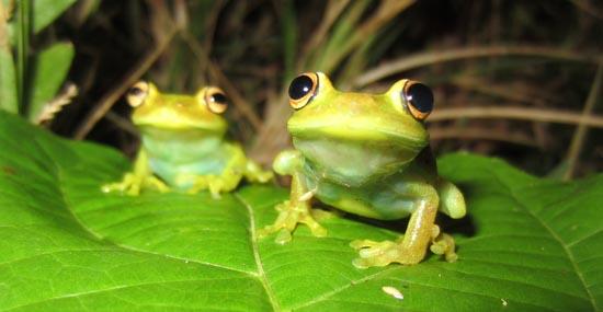 Hypsiboas-cinerascens-8a
